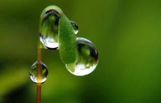 Dew Hosea 14, Creative Commons Photograph from ecstaticist on Flickr